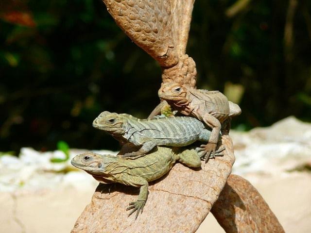 Ciudad de La Romana - Iguanas
